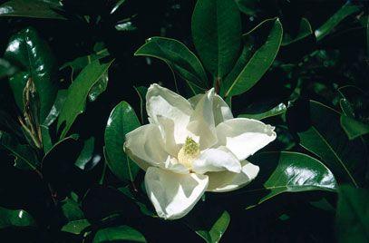 Rhs Plant Selector Magnolia Grandiflora Goliath Rhs Gardening Magnolia Grandiflora Plants Magnolia
