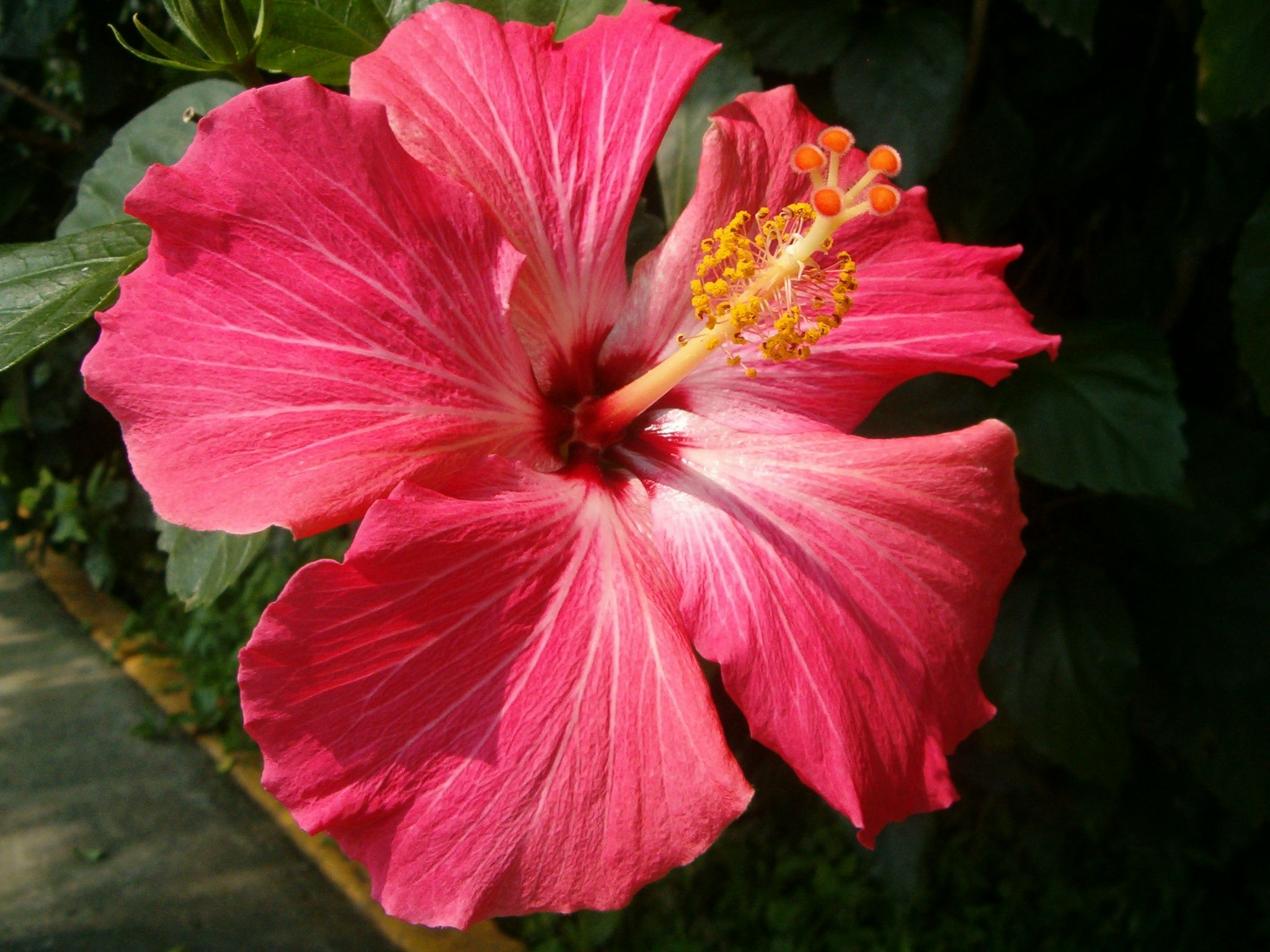 Hibiscus Or Tulipan In Spanish Amazing Flowers Most Beautiful Flowers Flowers