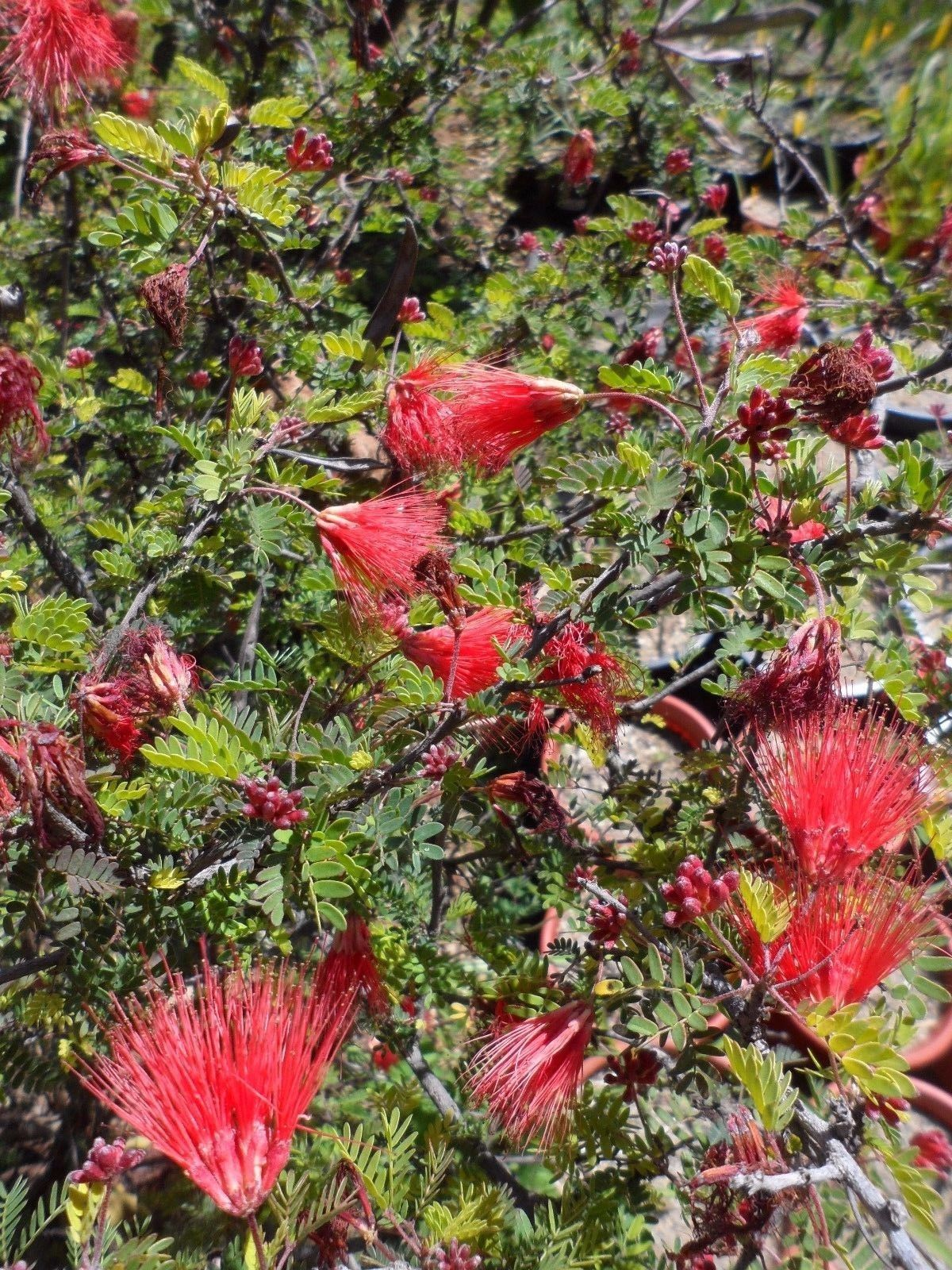 Calliandra californica, 1 PACK OF SEEDS (10 seeds) eBay