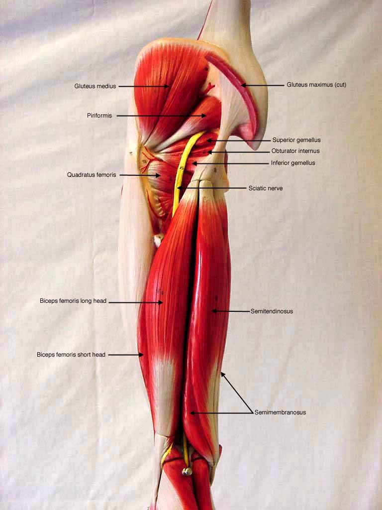 somso+arm+muscle+model+labeled | BIOL 160: Human Anatomy and ...