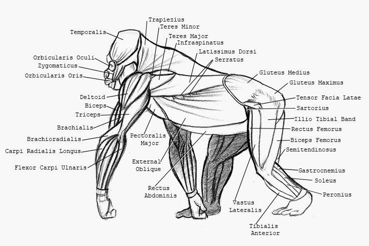 silverback gorilla skeleton - Google Search | gorilla | Pinterest ...