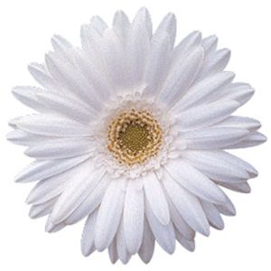 Fiftyflowers germini daisies white bulk flowers wedding white gerbera daisy wyellow center mightylinksfo