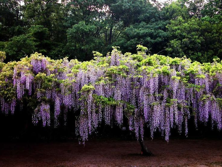 Ivy On The Wall Climbing Wisteria Flowers On Trellis Wisteria Flowering Wisteria Tree Wisteria Plants