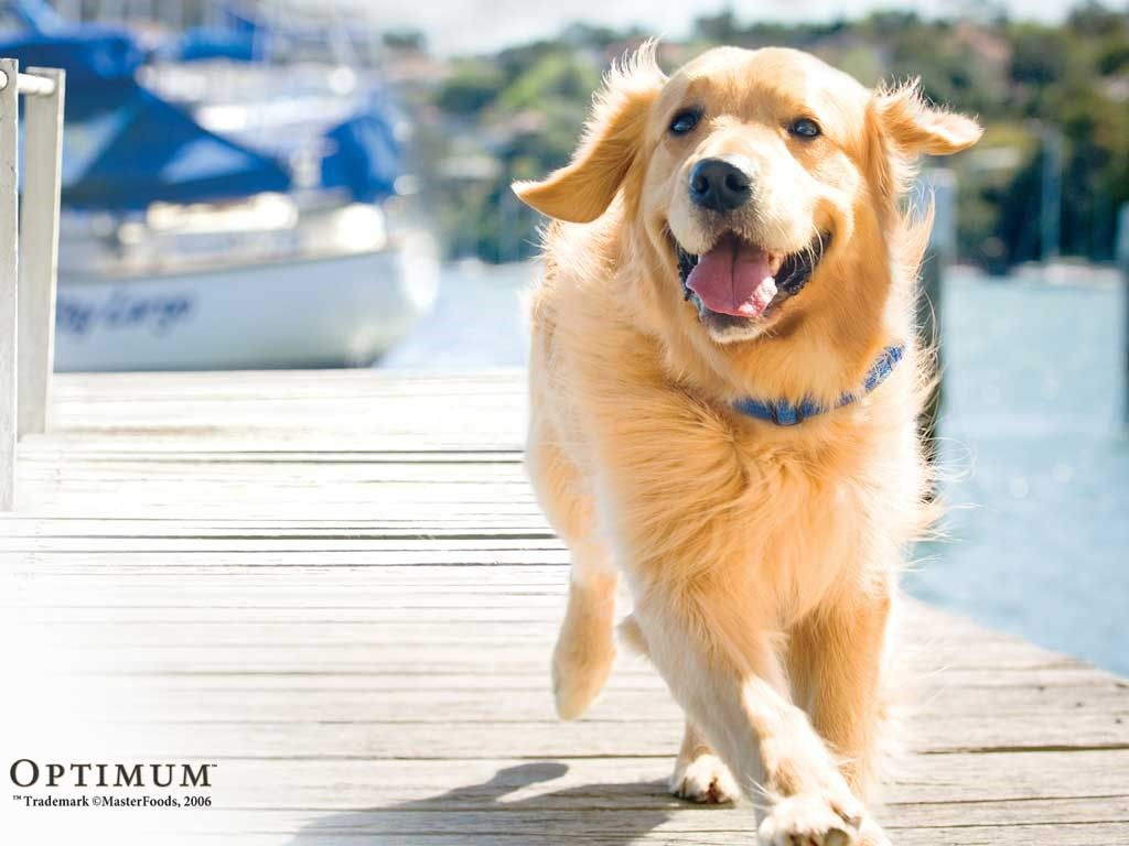 Golden Retriever Google Search Golden Retriever Wallpaper