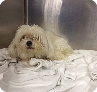 Virginia Beach Va Maltese Meet Cup Cake A Dog For Adoption