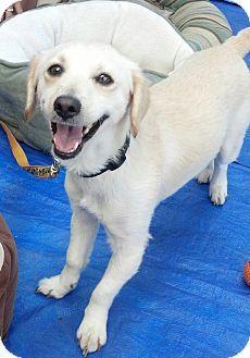 Winnetka Ca Spaniel Unknown Type Golden Retriever Mix Meet Grant A Dog For Adoption Kitten Adoption Dog Adoption Pets