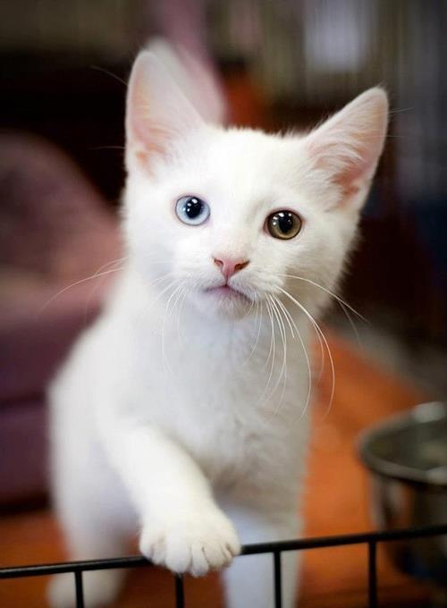 Pin by Katelyn Cristeen on Heterochromia Cats Cute