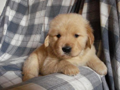 Golden Retriever Golden Retriever Cachorros Sangre Importada Usa