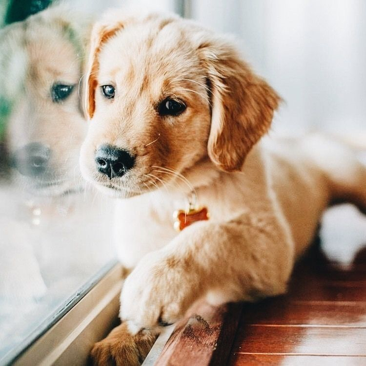 Golden Retriever Mix Puppies For Sale California References