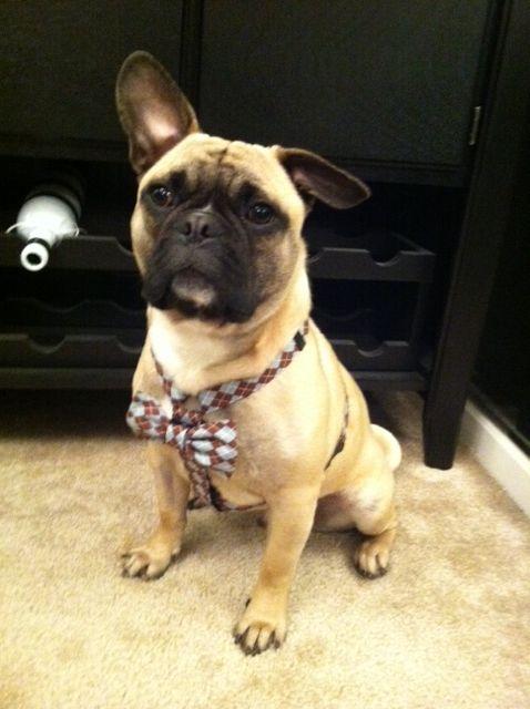 George The Frug French Bulldog Pug Dog Frenchie Pug French