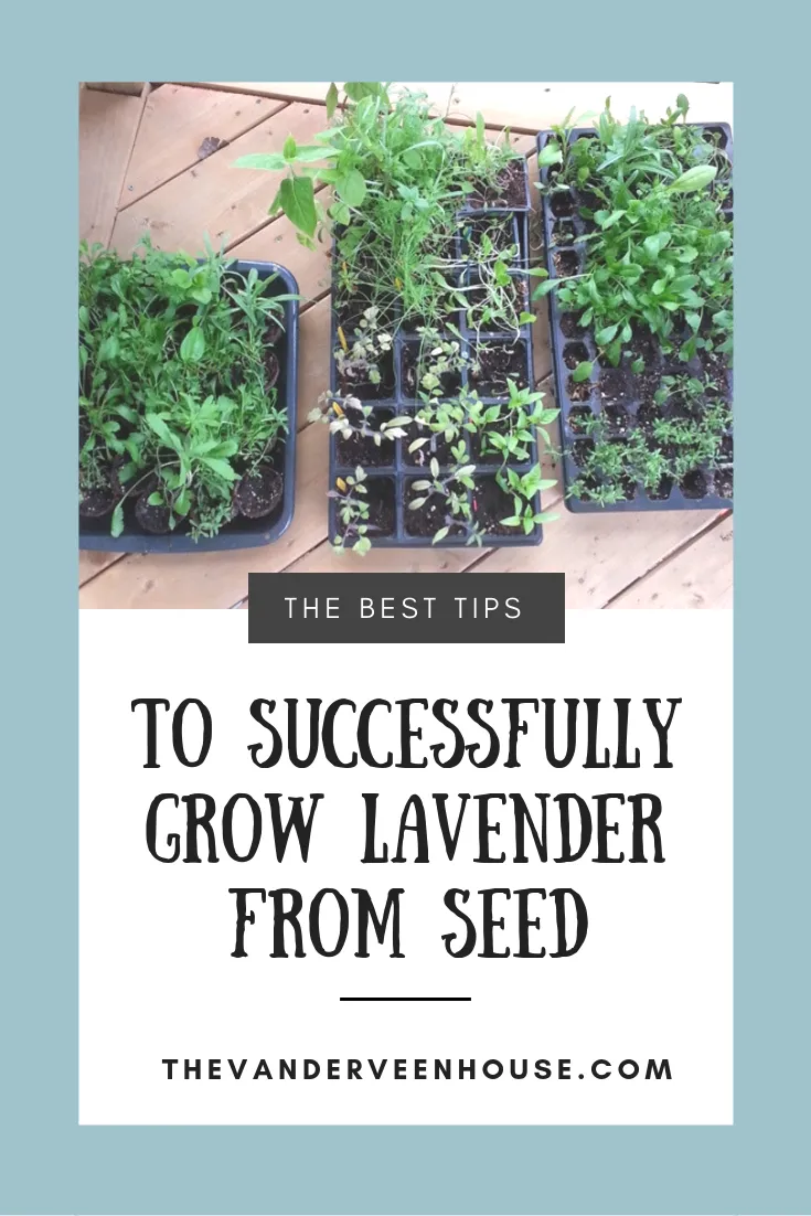 Photo of Tips To Successfully Grow Lavender From Seed • The Vanderveen House