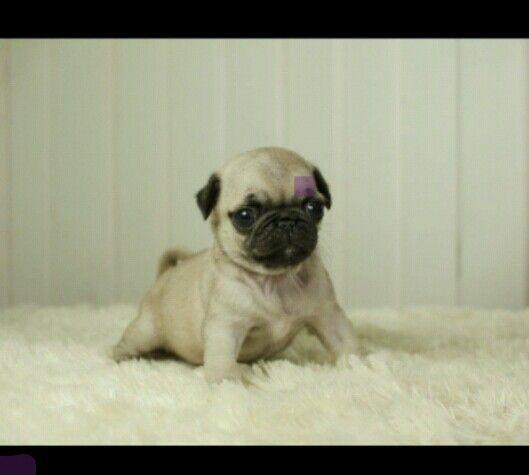 Teacup Pug Cute Pugs Pugs Funny