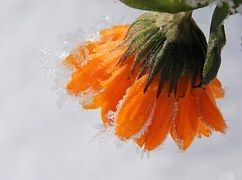 Caléndula, Flor, Jardinería, Congelados