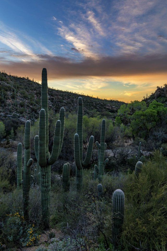 Saguaros Before Sunrise Tucson Az Usa Visit Wooden Watches Club