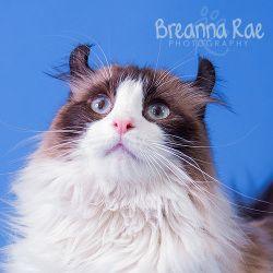 American Curl Cat Temperament