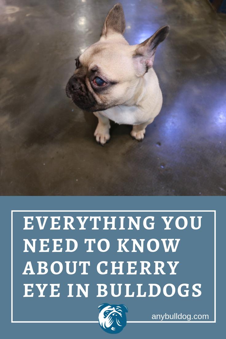 Cherry Eye in Bulldogs A Complete Guide Bulldog, Cherry