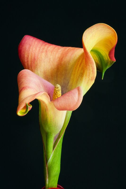 Twisting And Turning Lily Plants Calla Lily Flower Pictures