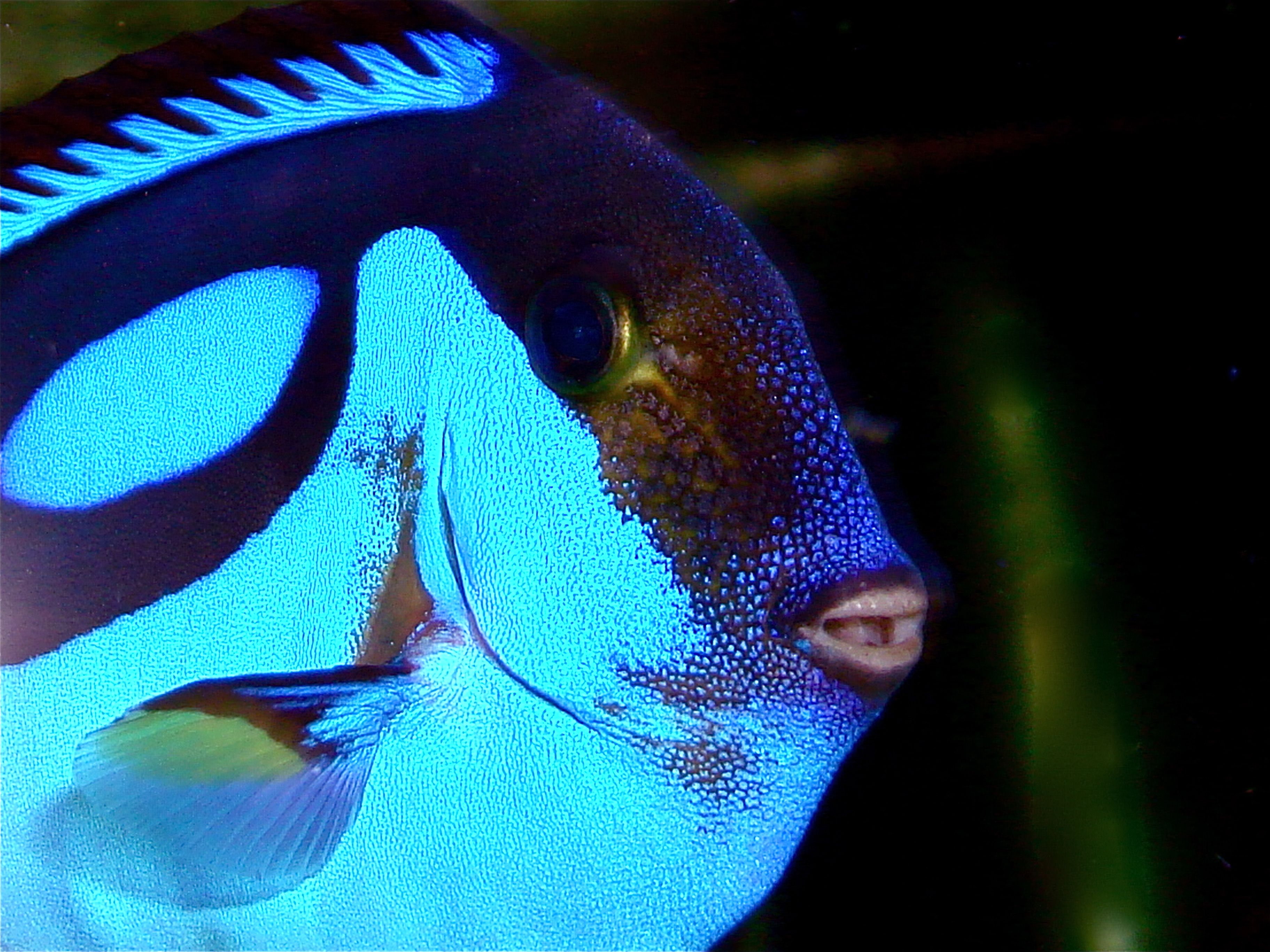 Blue Tang ( Palette Surgeonfish ) Indo-Pacific, 31cm, another pretty face.