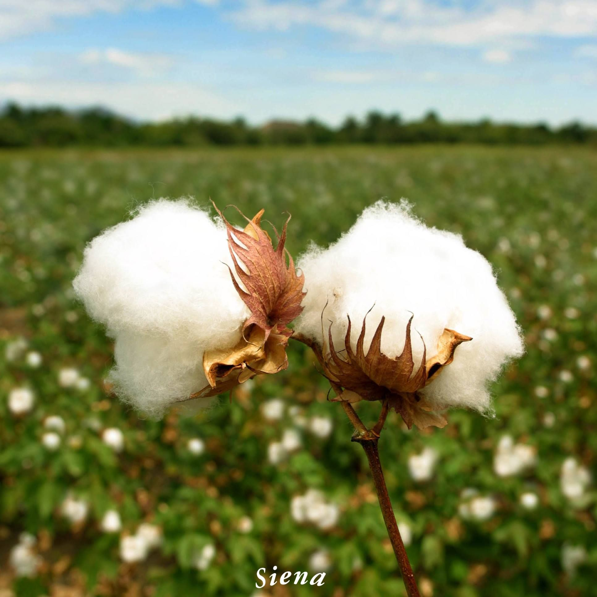 Materiaprima De Primeracalidad El Algodon Proviene Del Algodonero Planta Del Genero Gossypium Perteneciente A La Fam Planta De Algodon Plantas Semillas