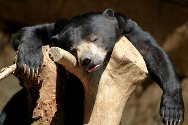 funny black bear hangover pics Animals Replicate Humans Too Fast.. Here Below We Have 15 Hilarious Animals In Hangover Which Will Make You C...