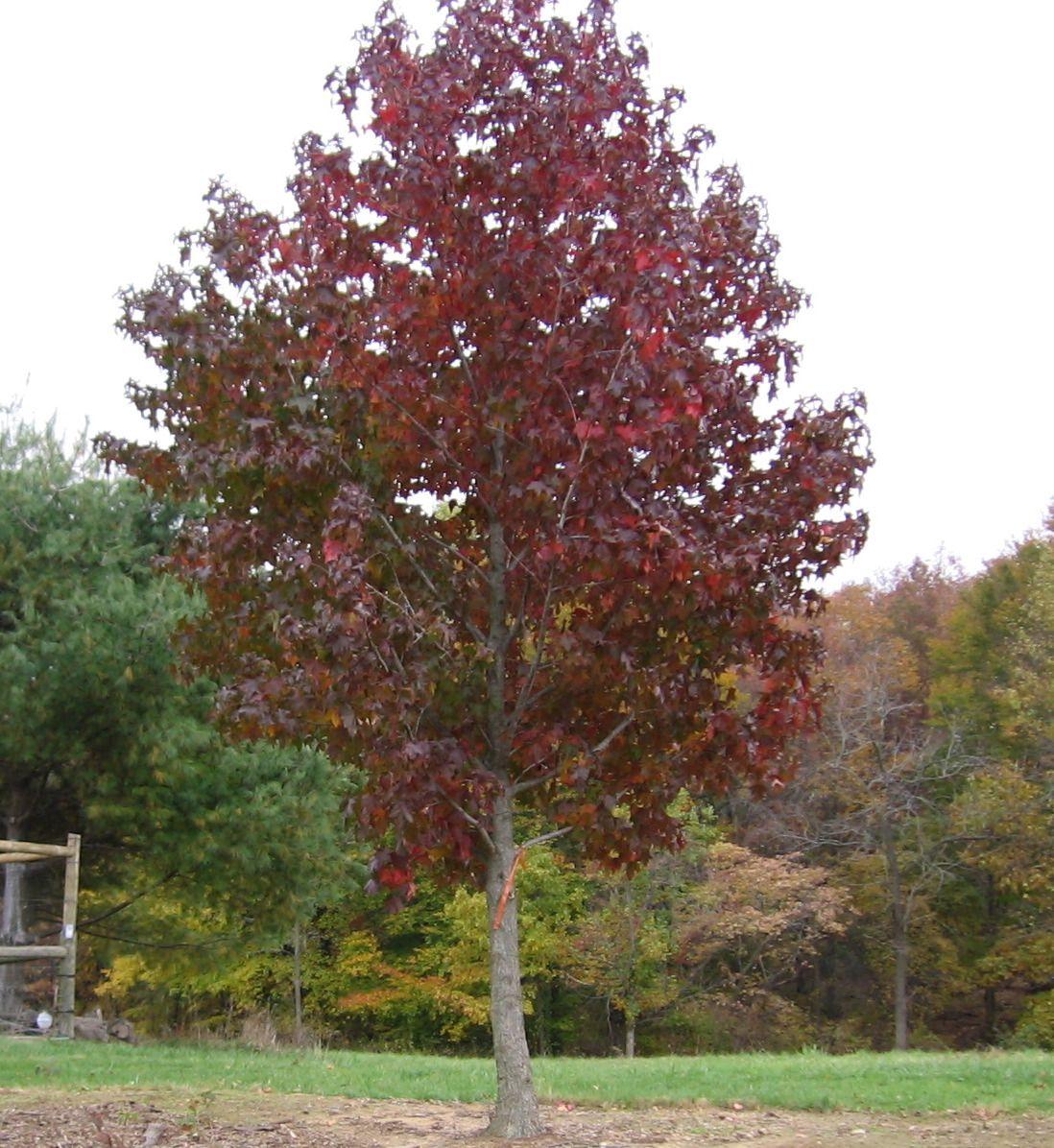 Natural Landscapes Nursery Sweet Gum Tree Landscape Nursery Deciduous Trees Tree