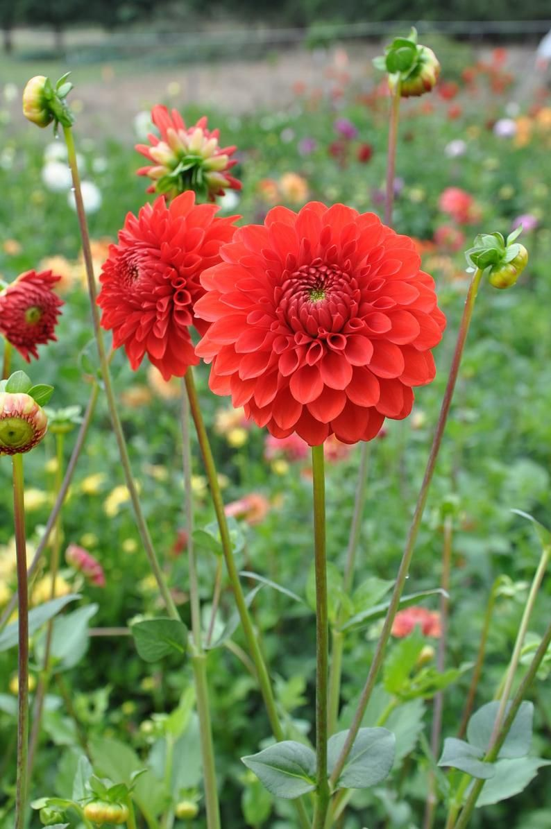 Lollipop Dahlia Tuber Etsy In 2020 Flowers Perennials Growing Dahlias Planting Bulbs