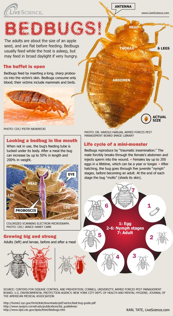 Bedbugs The Life of a MiniMonster (Infographic) Bed