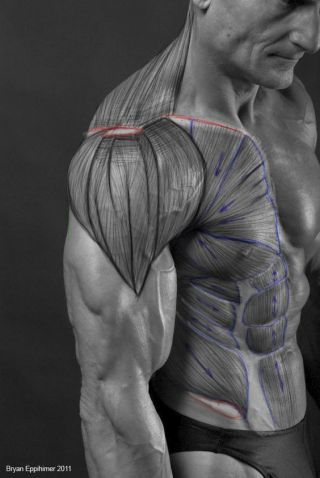 Character Design Collection: Male Anatomy | Anatomie. | Pinterest ...
