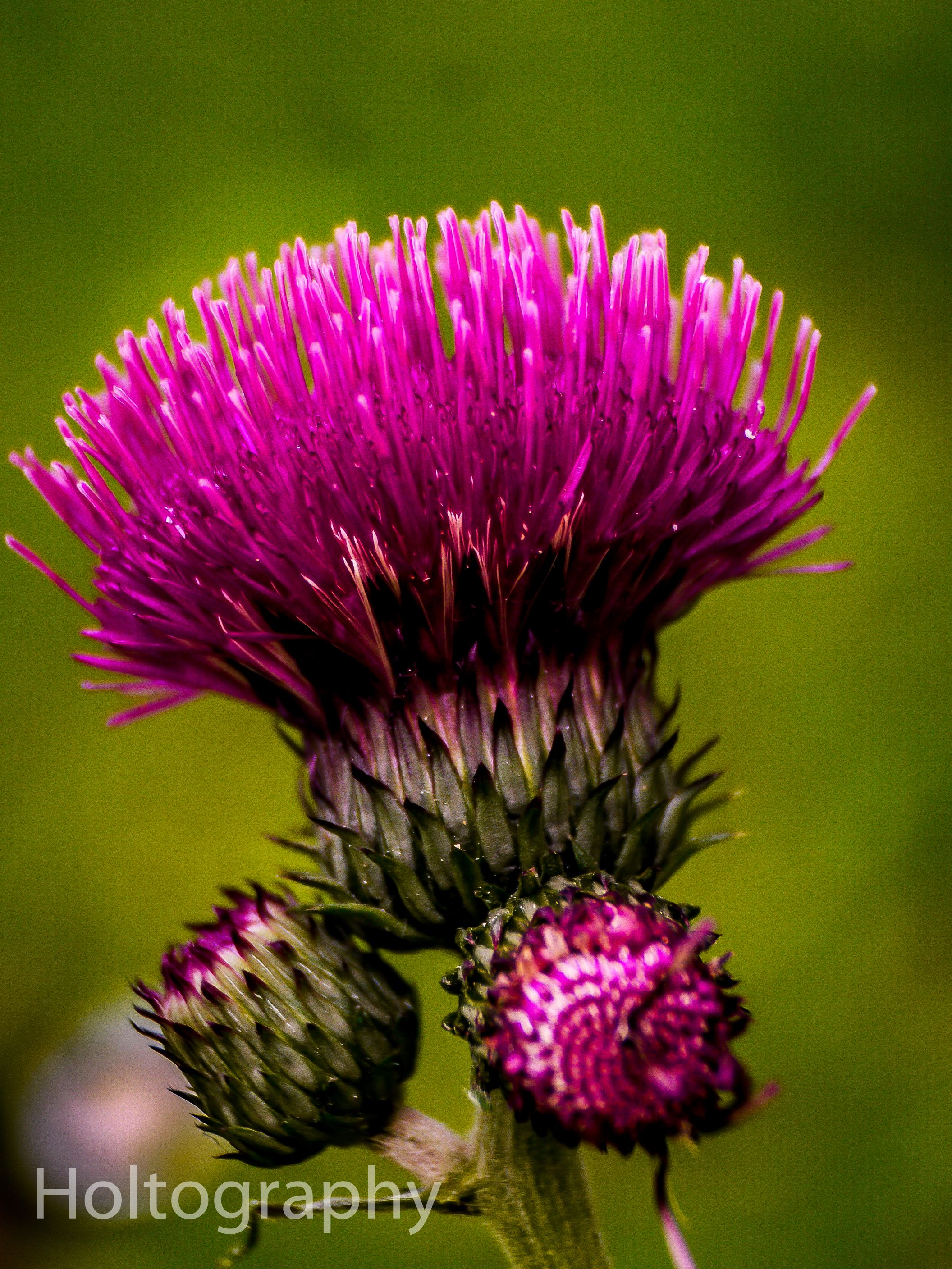 Flower Of Scotland In Spirit Of Robbie Burns I Thought I Would Post