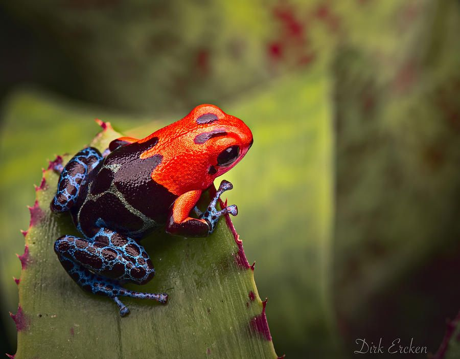 how to hold a poison dart frog