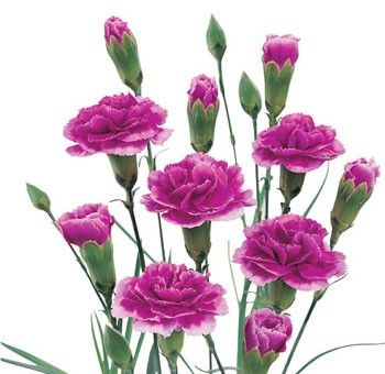 Bella S Mini Carnation Purple Flowers Are Some Of The Most Long Lasting Whole Flowers Available Their Name Ori Mini Carnations Carnation Flower Purple Flowers