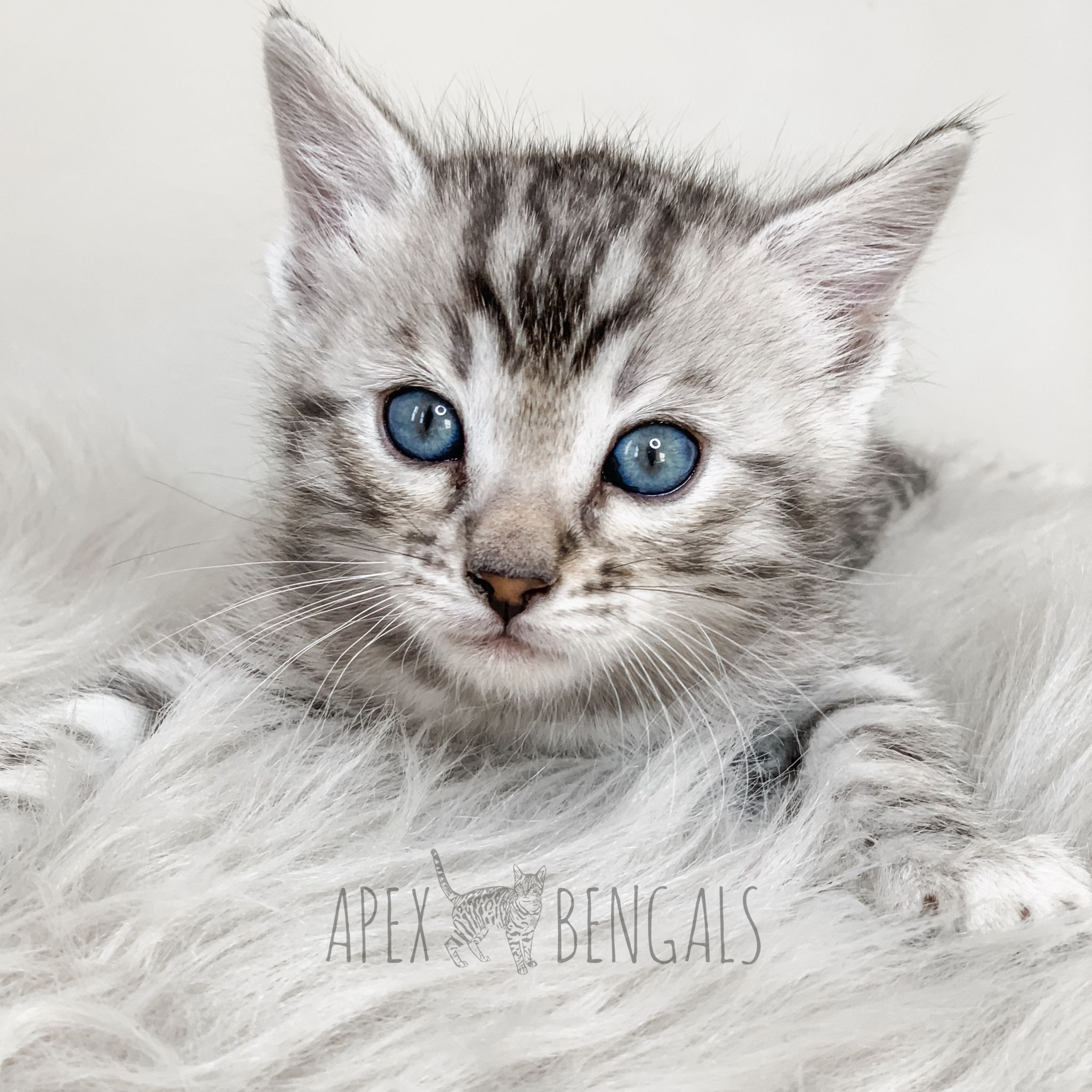Silver Bengal Kitten from Apexbengals apexbengals