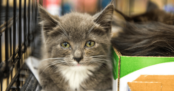 How To Treat A Kitten Eye Infection At Home Including Signs And Symptoms Kitten Eye Infection Kitten Eyes Cat Ear Mites