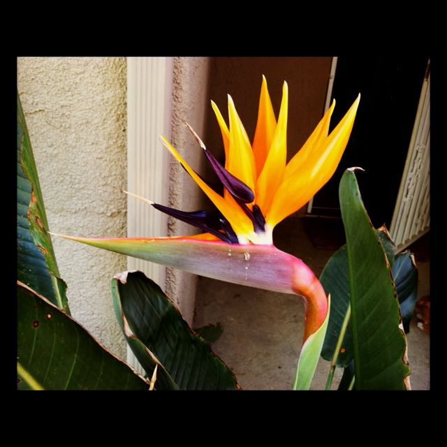 My Bird of Paradise looks like it is crying