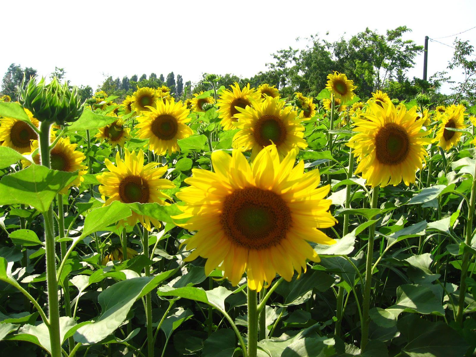 Identifying Sunflower Plants Planting Sunflowers Bonsai Plants For Sale Edible Landscaping