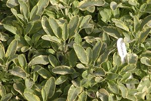 When to Prune Woody Herbs, like Rosemary, Lavender, and Oregano