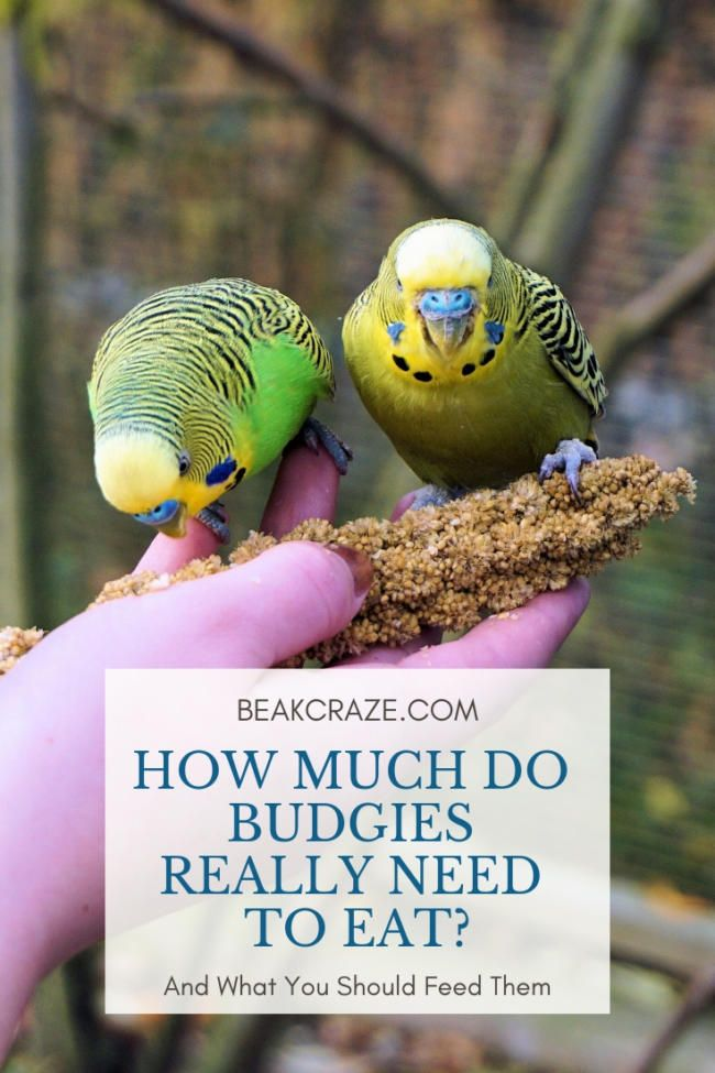Budgies Seem To Eat All Day Long But Is This Really Healthy For