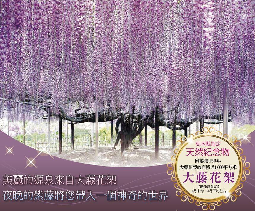 栃木縣指定天然紀念物 大藤花架的面積達1,000平方米,樹齡達150年 【最佳觀賞期】4月下旬-5月上旬左右