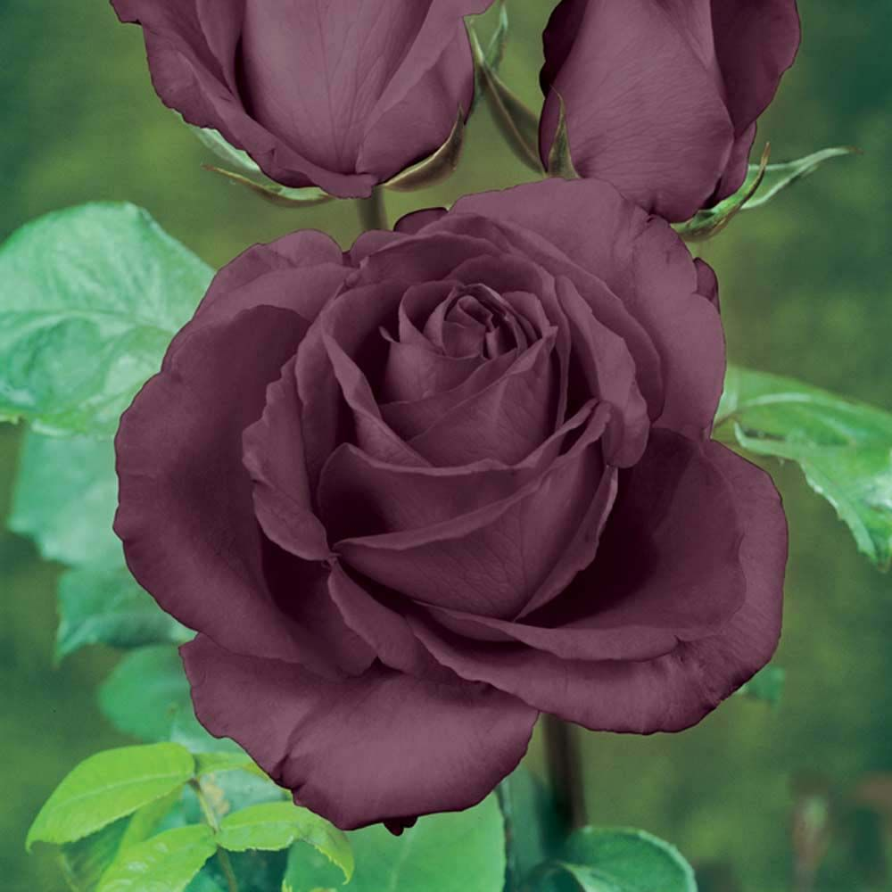 rose 39 black baccara 39 hybrid tea rose rosa rosa 39 meidebenne 39 how does your garden grow. Black Bedroom Furniture Sets. Home Design Ideas