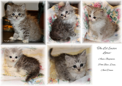 Ragamuffin Cat World Kittens For Adoption See Website For More Information Www Ragamuffins Co Kitten Adoption Ragamuffin Cat Ragamuffin Kittens
