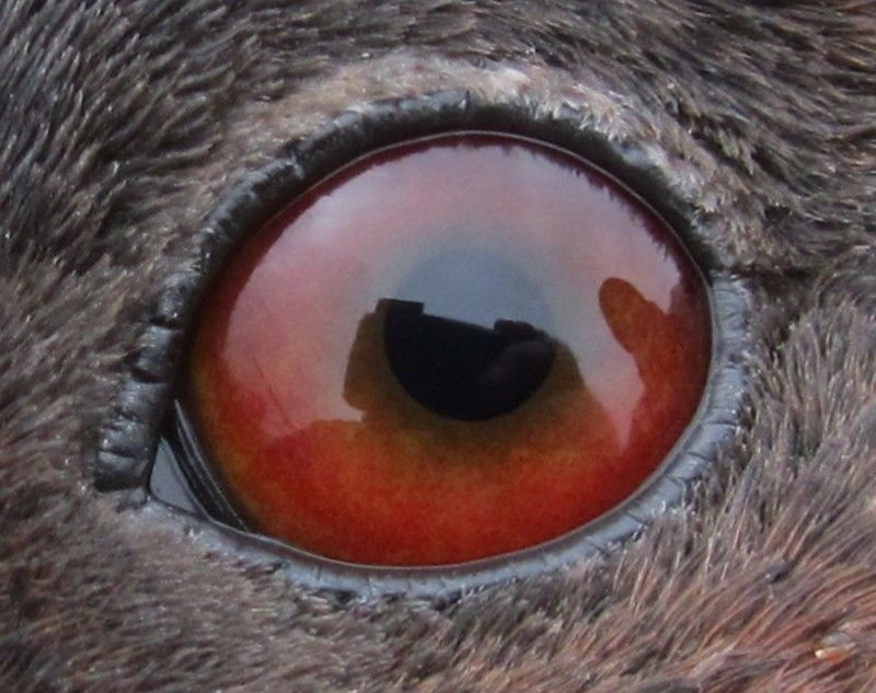 Canvasback Eye Reference Duck Pictures Eyes Photos Of Eyes