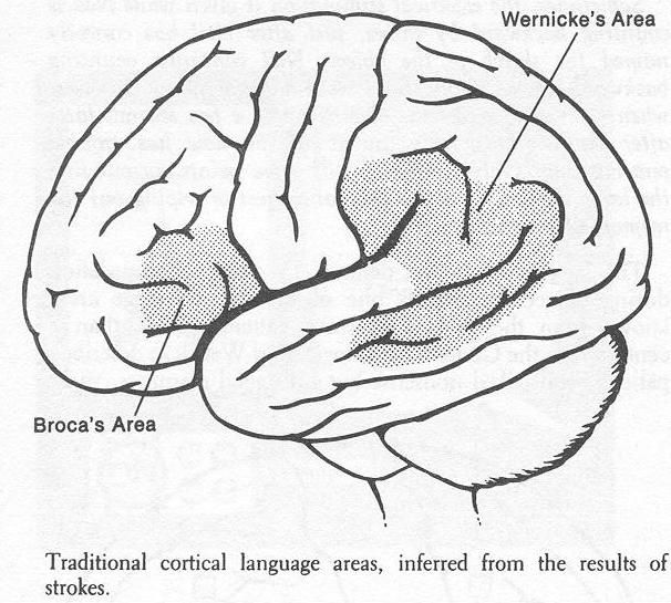 The two most important parts of the brain for speech