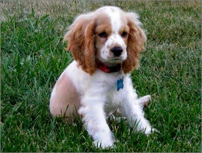 Brittney Spaniel Puppies Bing Images Spaniel Puppies English Springer Spaniel Puppy Springer Spaniel Puppies