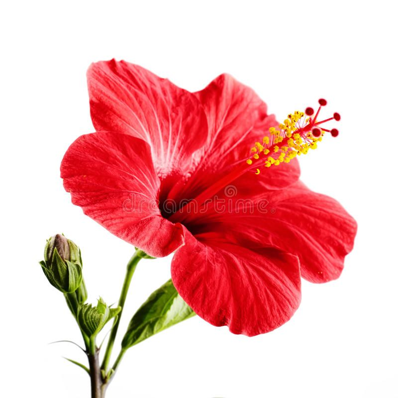 Hibiscus Red Flower On A White Background Isolated Ad Flower Red Hibiscus Isolated Background Ad Flowers Hibiscus Red Flowers