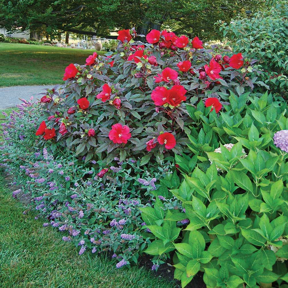Hibiscus Midnight Marvel Hibiscus Garden Hibiscus Plant Backyard Flowers Beds
