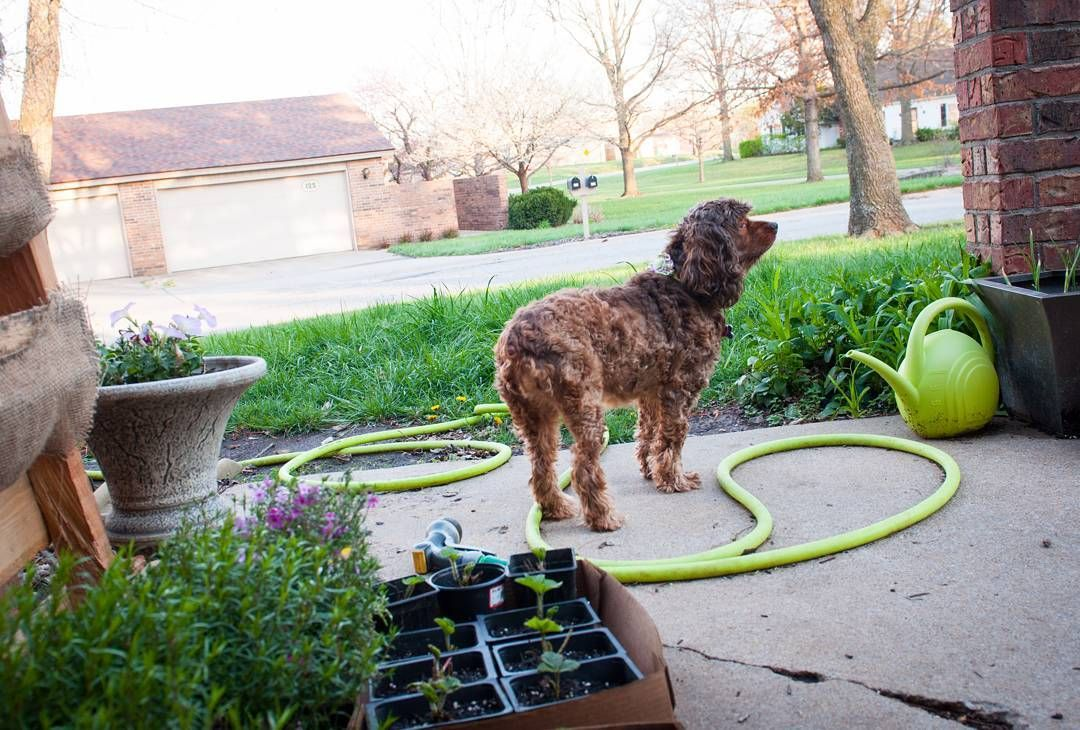 Duchess the cockerspaniel checking things out on the front patio