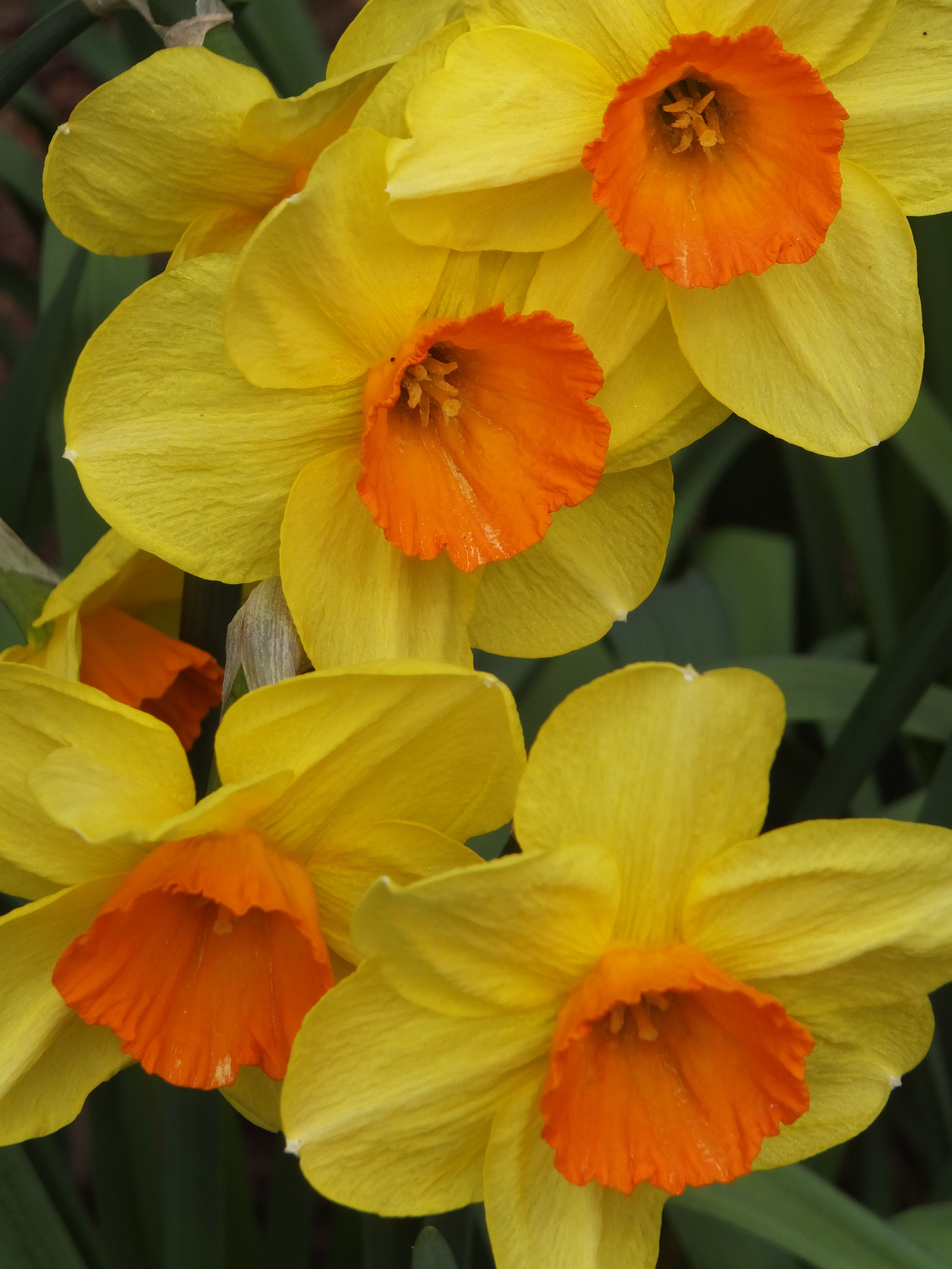Yellow Daffodils With Orange Centers Ohe Flowers Pinterest