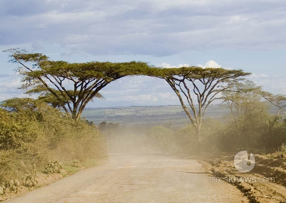 Acacia Trees Touching Royalty Free Images African Nature