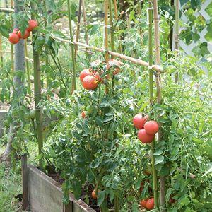 Sistemas De Entutorado De Los Tomates Plantas De Tomate 640 x 480