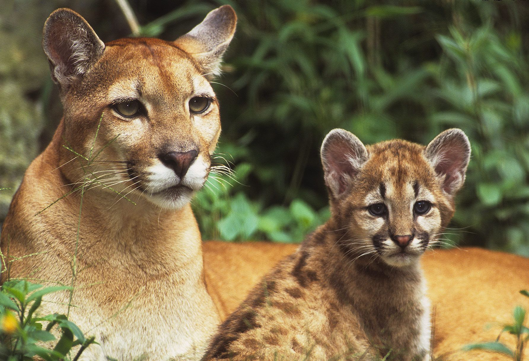 Urgent Protect California Mountain Lions Sign To Help Pass Sb 132 Mountain Lion Foundation Mountain Lion Lions Wild Cats